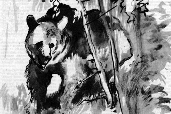 Фото №1 - Шалый медведь