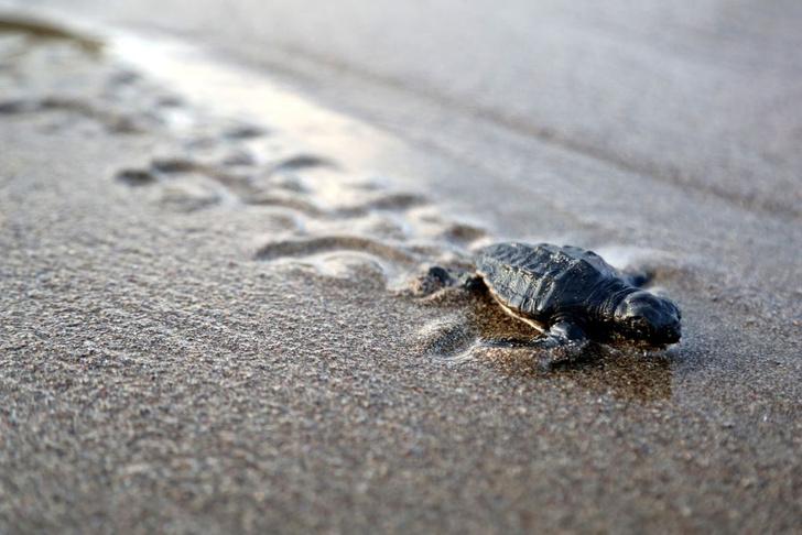 Фото №1 - Как черепахи находят родной пляж