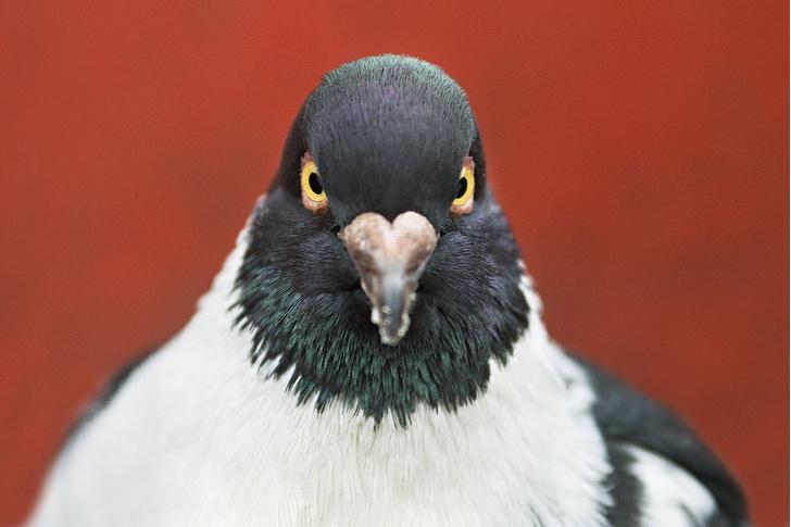 Фото №1 - Почему при ходьбе голуби кивают головой?