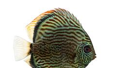 Цихлиды аквариумные: виды, содержание, питание, совместимость