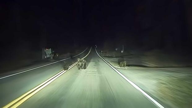 Фото №1 - Tesla спасла семью медведей (видео)
