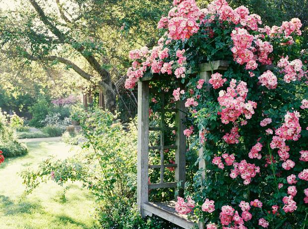 Фото №5 - 5 лучших растений для вертикального озеленения садового участка