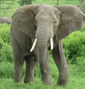 Фото №1 - Слонов выгнали из лавки