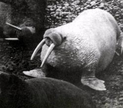 Фото №2 - Белые моржи Чукотки