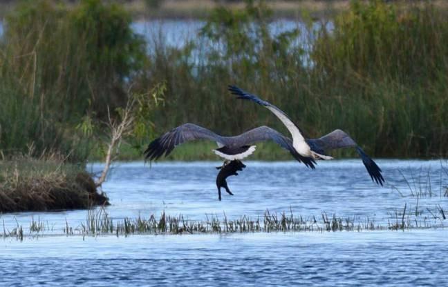 Фото №1 - Фотограф поймал уникальный момент: орел несет в когтях свинью