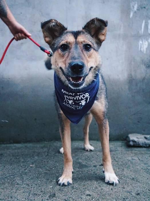 Фото №4 - Спасённая из китайской скотобойни собака стала служебной и уже дважды спасла жизнь новому хозяину (фото)