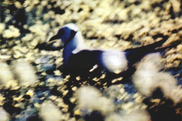 Фото №1 - Розовая чайка