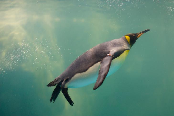 Фото №1 - Что помогает пингвинами надолго оставаться под водой?