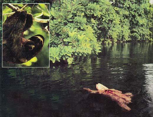 Фото №3 - О гигантских сверчках, прилежных ленивцах и поднадзорных коалах