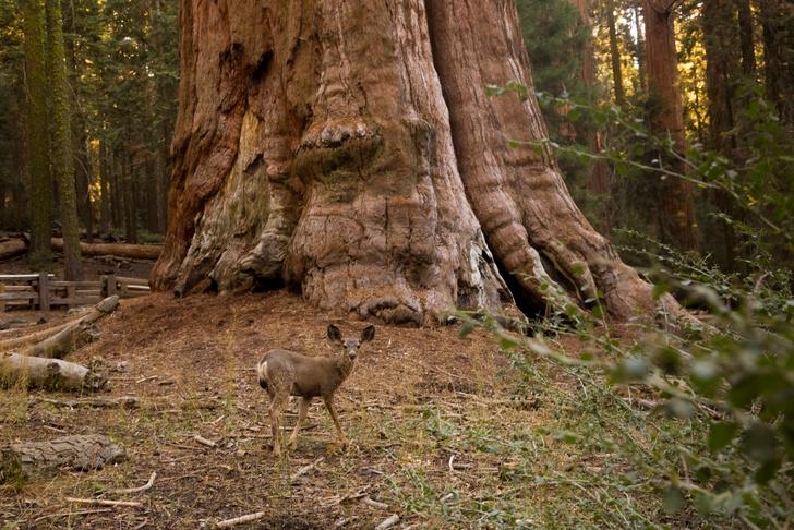 Фото №7 - Генералы среди деревьев: 10 удивительных фактов о гигантских секвойях