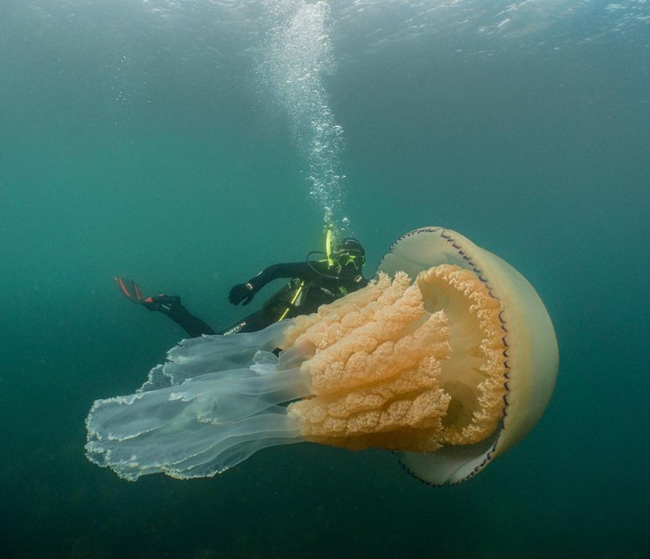 Фото №1 - Медуза размером с человека попала в кадр