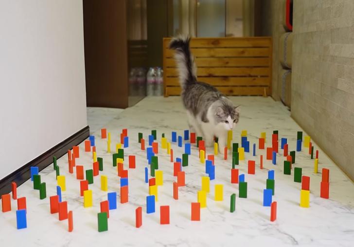 Фото №1 - Видеоэксперимент «Как кошка пройдет коридор, уставленный домино» набрал 11,5 миллиона просмотров