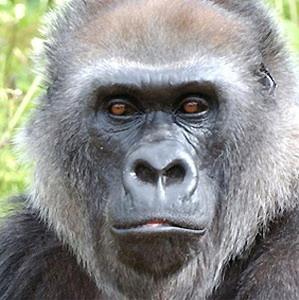 Фото №1 - Места обитания нигерийских горилл перепишут