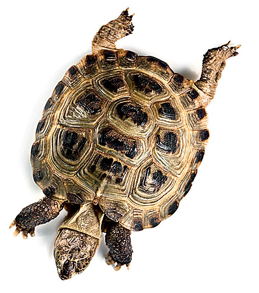 Фото №1 - Как определить возраст черепахи?