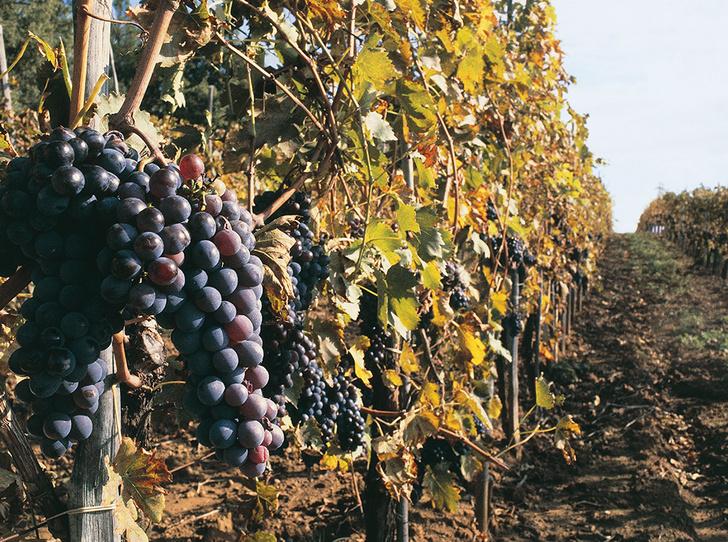 Фото №1 - Вино с приставкой «bio»: кто ввел тренд на биодинамические вина и где их искать