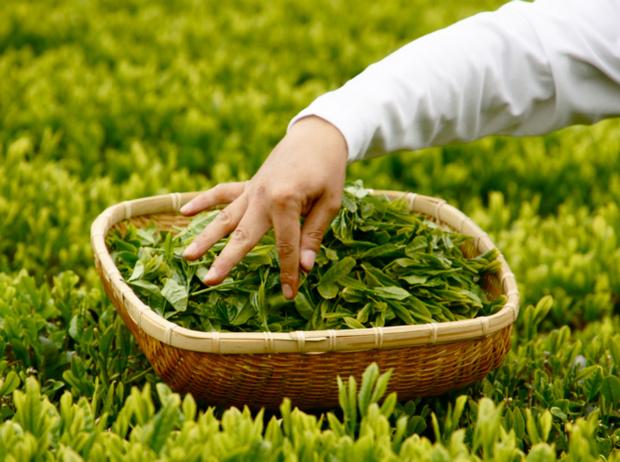 Фото №4 - Чайные плантации: как создается самый популярный напиток