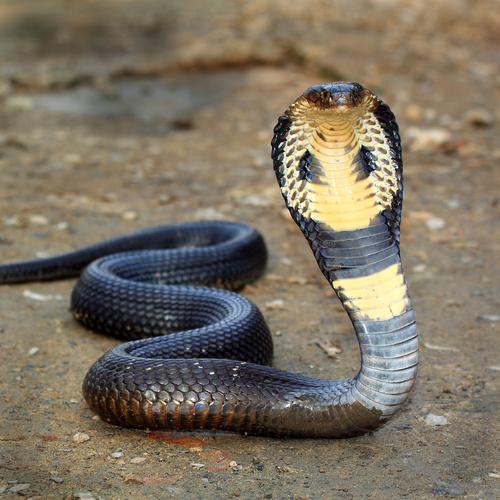 Фото №1 - Какая ядовитая змея самая большая?