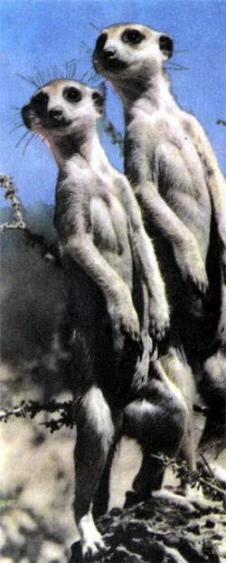 Фото №2 - Дружные драчуны Калахари