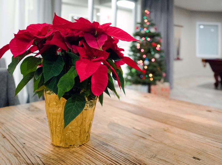 Фото №1 - 5 растений, которые заменят новогоднюю елку