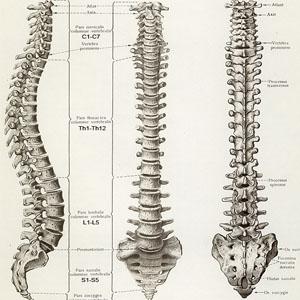 Фото №1 - Спинной мозг способен к регенерации