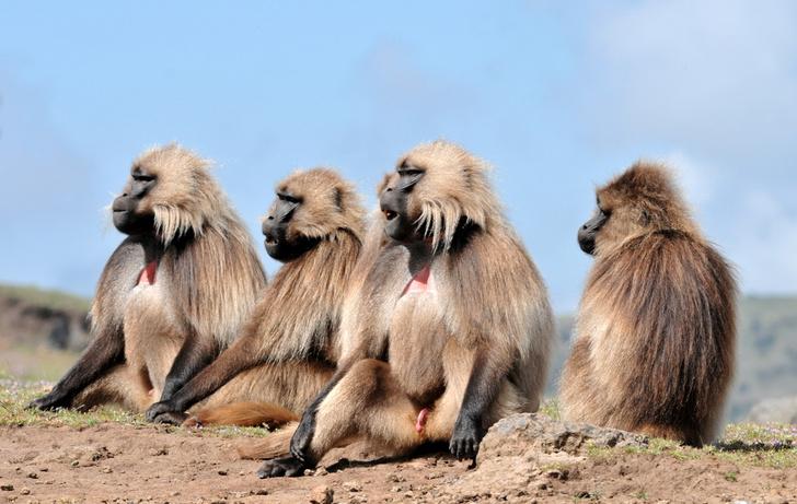 Фото №1 - В Эфиопии обезьяны помогают волкам охотиться