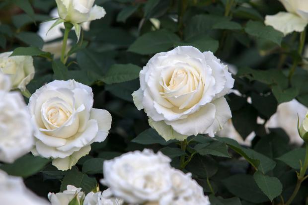 Фото №5 - Весы— роза, Рыбы— лотос: какой вы цветок по знаку зодиака