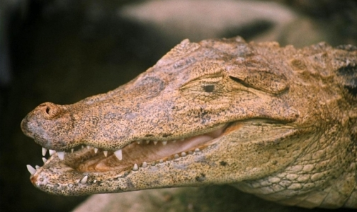 Фото №1 - В крови крокодилов нашли мощные антимикробные средства