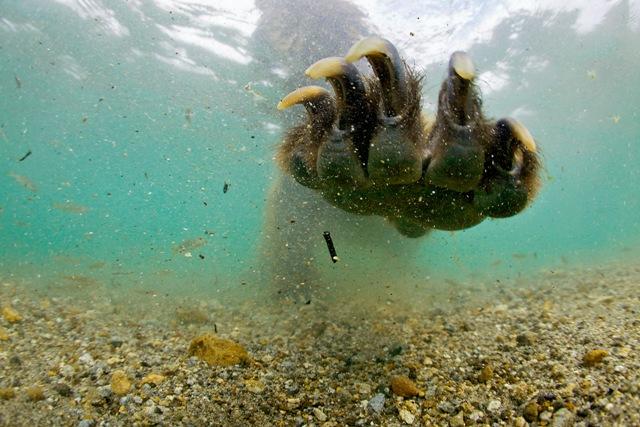 Фото №3 - Медвежья рыбалка. Репортаж cо дна озера