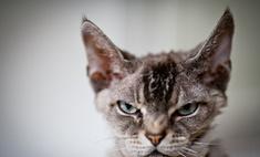 Опасные породы домашних кошек