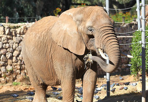 Фото №1 - В США зоозащитники потребовали освободить слониху после 40 лет жизни в зоопарке, но суд оказался на стороне животного