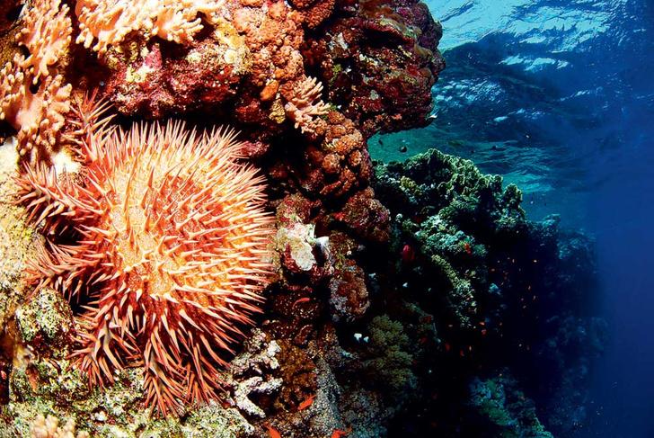 Фото №6 - Ядовитая правда Немо: 8 самых опасных обитателей Красного моря
