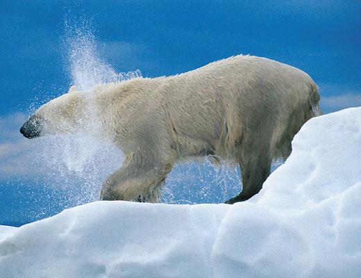 Фото №1 - Охотники на тюленей