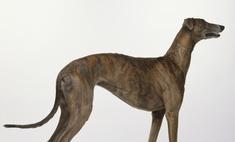 Самая быстрая собака в мире – грейхаунд.