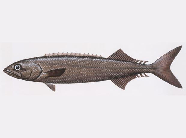 Фото №9 - 10 видов рыбы, которую лучше не есть