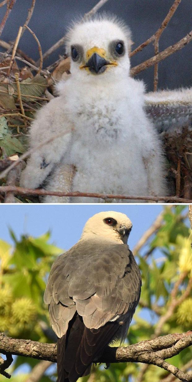 Фото №24 - 30 красивых птиц, которые были уродливыми птенцами (галерея)