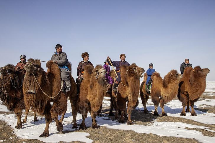 Фото №5 - Сухой закон: как верблюды выживают в экстремальных условиях