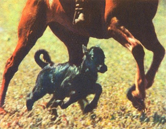 Фото №1 - Ферма рогатых бойцов