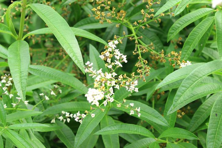 Фото №15 - Как выглядят анчар, мандрагора и другие таинственные растения из книг