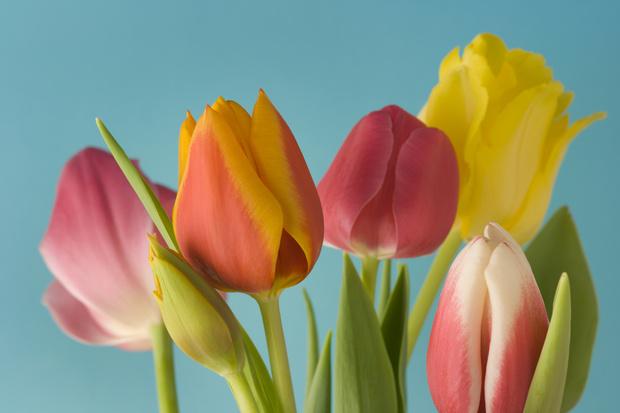 выращивание тюльпанов в открытом грунте