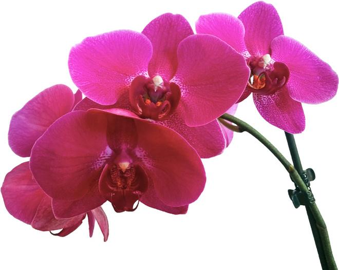 к чему снятся орхидеи