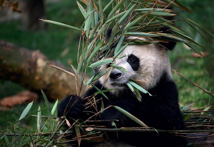 Фото №1 - В чем секрет окраса панды