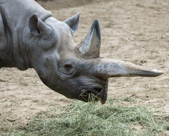 Фото №1 - В Германии умер самый старый в мире черный носорог