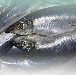 Фото №1 - Рекордными темпами - к исчезновению рыбы