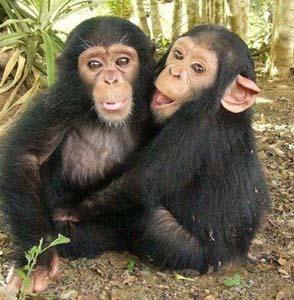 Фото №1 - Шимпанзе воруют ради любви