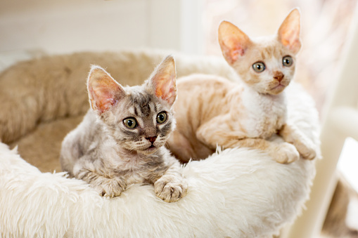 Фото №8 - Почти как люди: самые умные породы кошек