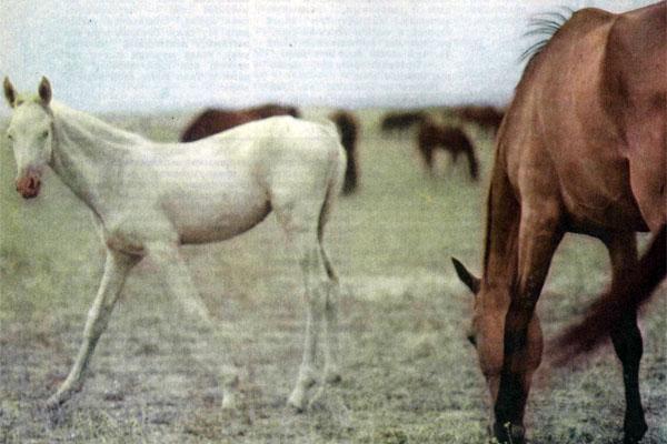Фото №1 - Нисийские кони