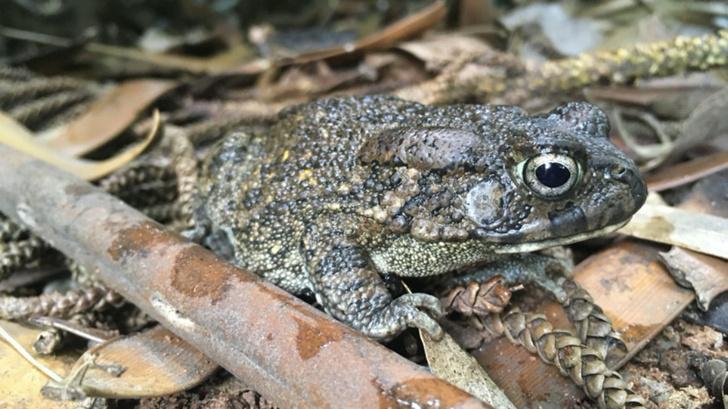 Фото №1 - Жизнь на острове изменила жаб в размерах