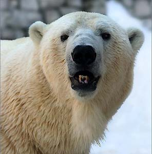 Фото №1 - Жители НАО обороняются от белых медведей