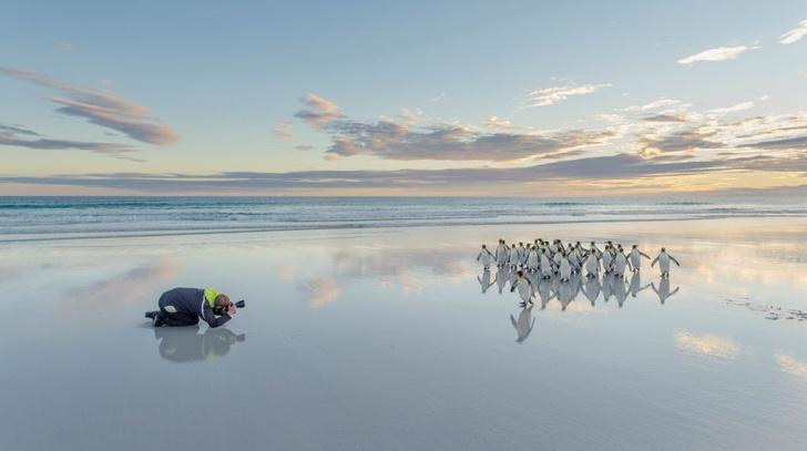 Фото №1 - Крупнейшая колония королевских пингвинов стремительно сокращается