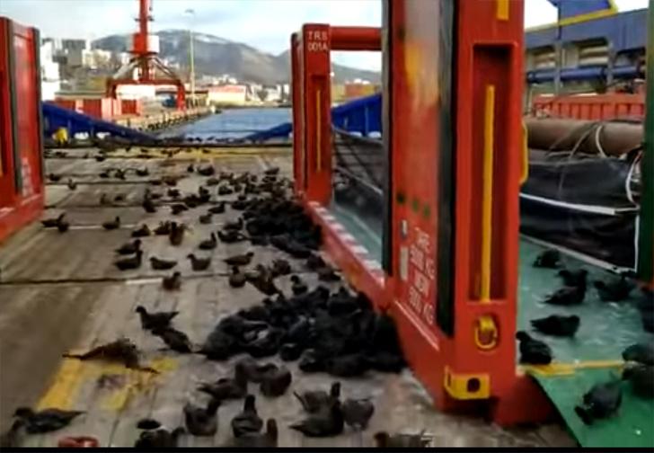 Фото №1 - На Дальнем Востоке судно заполонили сотни перелетных птиц (видео)